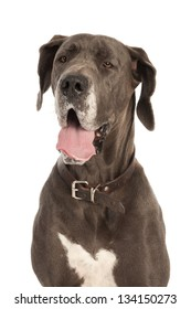 A panting Great Dane is making a foolish face