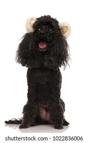 panting happy poodle wearing bear ears looks to side on white backgrund