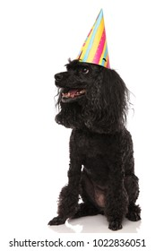panting poodle wearing birthday hat looks up to side on white background