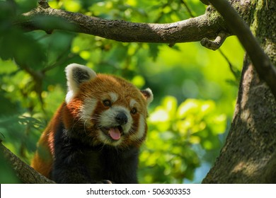 A panting red panda in a tree with its tongue out