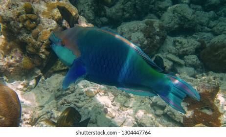 Papageifisch am Korallenriff Unterwasserwelt auf Insel Meedhupparu auf Malediven im Indischen Ozean