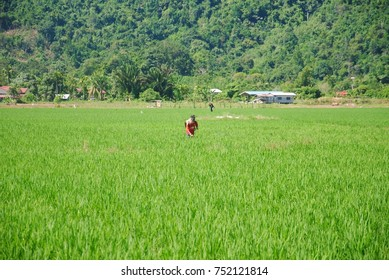 Papar, Sabah, Malaysia - November 8, 2017 : farmer spraying pesticide in the green paddy field