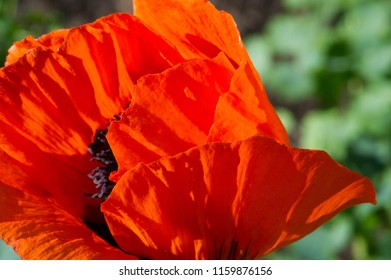 Papaver has medicinal properties. Stems contain latex milk, latex in opium poppy Papaver somniferum contains several narcotic alkaloids, including morphine and codeine. Poppy seeds baking and cooking
