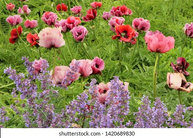 Papaver orientale 'Patty's Plum' (Oriental Poppy) and catmint (Nepeta cataria, catnip, catwort, catmint is an aromatic herb) in The King's Garden. Copenhagen, Denmark.