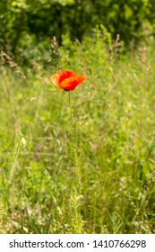 Papaver rhoeas common names include corn poppy, corn rose, field poppy, Flanders poppy, red poppy, red weed , coquelicot.