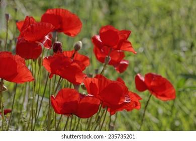 Papaver rhoeas, Corn Poppy, Corn Rose, Field Poppy, Flanders Poppy, Red Poppy, Red Weed, Coquelicot
