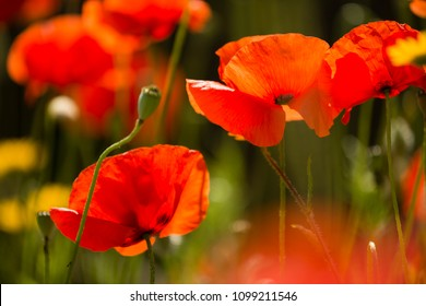 Papaver rhoeas flowers, red, corn, rose, field poppy, flanders poppy,  annual herbaceous species of flowering plant in the family Papaveraceae.