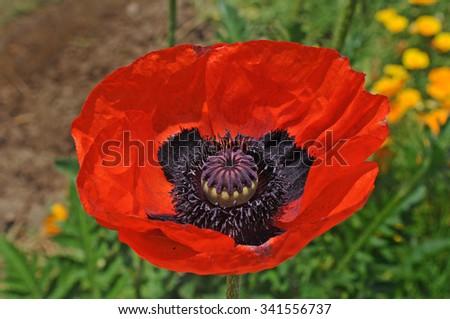 Papaver somniferum close red black opium stock photo edit now papaver somniferum close up of a red and black opium poppy flower in a garden mightylinksfo