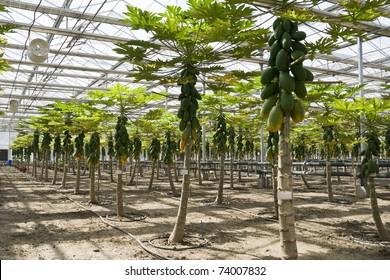 Papaya cultivation in greenhouses in beijing