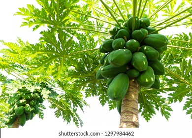 Papaya fresh on tree white background. Agriculture fruits in organic farm on morning light. Agricultural background.