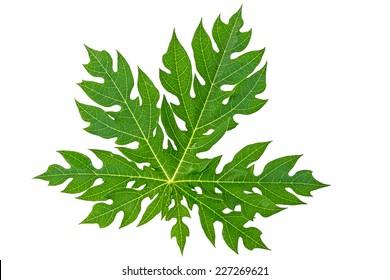 Papaya leaf isolated on white.