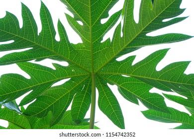 papaya leaf texture background