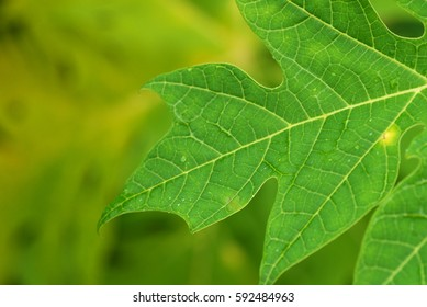 Papaya leaves with natural soft background for copyspace. (Selective focusing)