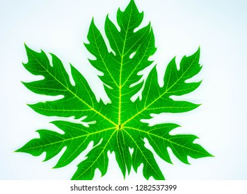 Papaya leaves on a white background.