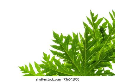 Papaya leaves on white background.