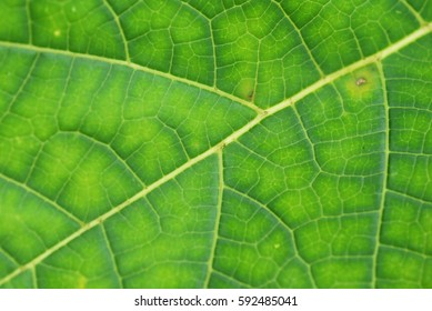 Papaya leaves pattern, texture and details for background.