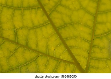 Papaya leaves pattern, texture and details for background with backlit from sunlight.