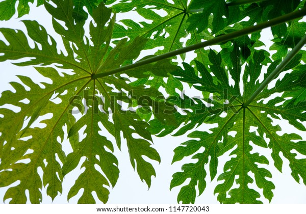 Papaya leaves with sky in the background.