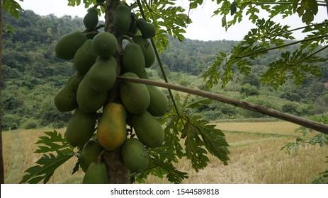 papaya pawpaw outdoor landscape travel
