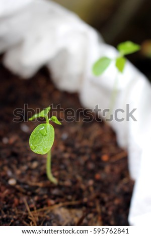 Papaya Seedling Images