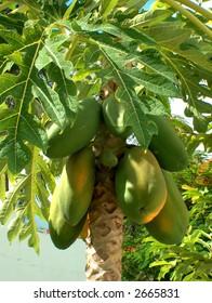 a papaya tree