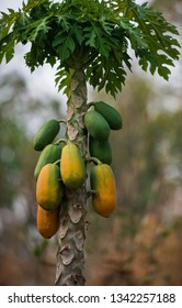 Papaya Tree Couple green and ripe fruits grows out of single stem tree