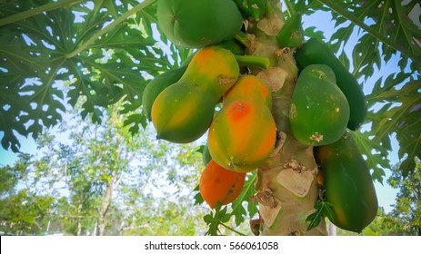 Papaya (papaya, tree, fruit)