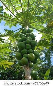 Papaya tree with fruit