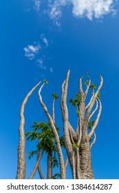 papaya tree growing high in the sky NSW Australia