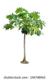 papaya tree isolated