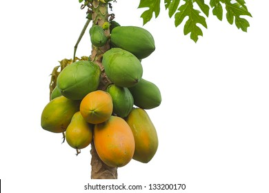 papaya tree isolated on white background