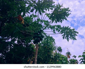 papaya tree in the middle of the plant field