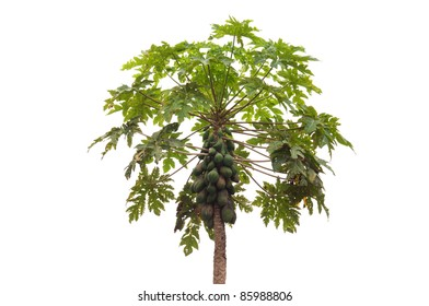 Papaya tree on isolate background.