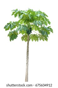 Papaya tree on a white background