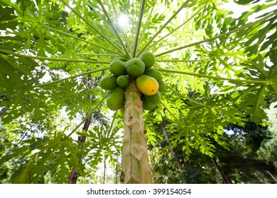 papaya tree with ripe