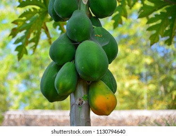 Papaya trees and fruits at the garden in summer time.