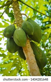 Papaya trees produce abundant,asia papaya.