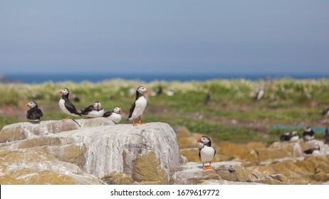 papegaaiduikers op een rots op de Farne Eilanden, puffins at a rochy shore at the farne islands