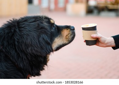 Paper cup with coffee in hand in front of the face of a large black dog. The dog is offered a coffee drink.