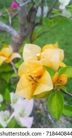 Paper flower or Bougainvillea orange color