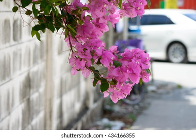 Paper flower or Bougainvillea flower of The Pink colour Beside brick wall
