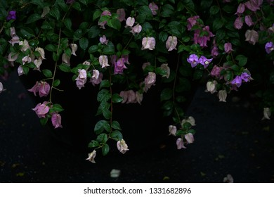 paper flowers , Bougainvillea, in dark tone black background