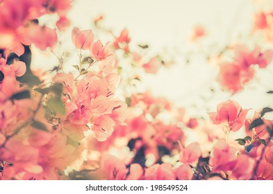 Paper flowers or Bougainvillea in the garden or nature park vintage