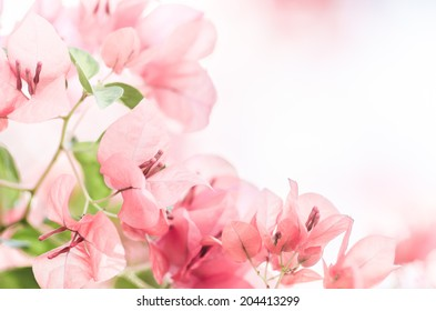 Paper flowers or Bougainvillea in the garden or nature park