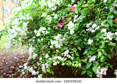 paper flowers white NYCTAGINACEAE,Bougainvillea flowers texture and background. Red flowers of bougainvillea tree. Pink bougainvillea flower in close up,Bougainvillea vine with yellow flowers