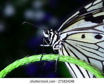 Paper Kite butterfly on a branch