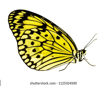 A paper kite butterfly, rice paper butterfly or large tree nymph, Idea leuconoe, The big white butterfly sits with its wings closed. Side view, isolated on white background, color change to yellow