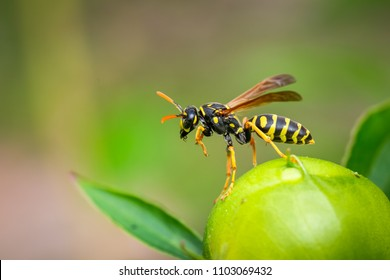 Paper Wasp cleaning up on a peony
