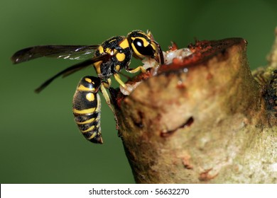 Paper Wasp feeding on sap of a plant