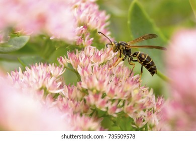 Paper Wasp on Autumn Joy Sedum Flowers